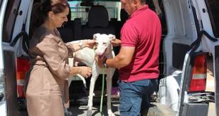 El galgo Pablo a su llegada a las instalaciones de la Fundación Benjamín Mehnert situadas en Alcalá de Guadaíra. En la foto, su directora Isabel Paiva, y el miembro del equipo que acudió a recogerlo a la universidad, José.
