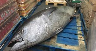 Los atunes pesan unos 370 kilos