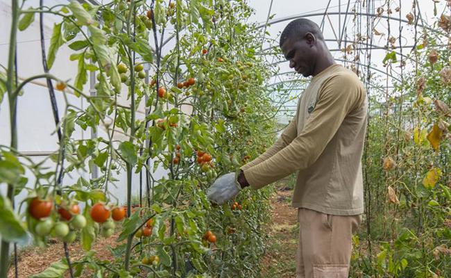 Katile recoge tomates en el invernadero / Juan José Úbeda